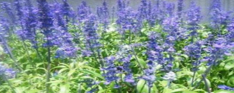 蓝花鼠尾草怎么养