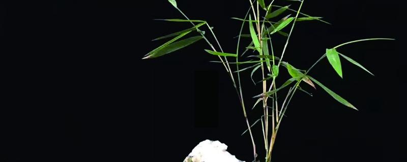 盆栽小竹子怎么养活