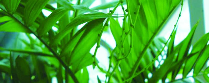 家里养的竹子叶子发黄什么原因