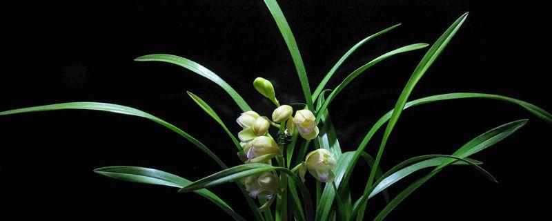 兰花怎么养才能旺盛