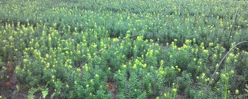 曼地亚红豆杉用什么肥料