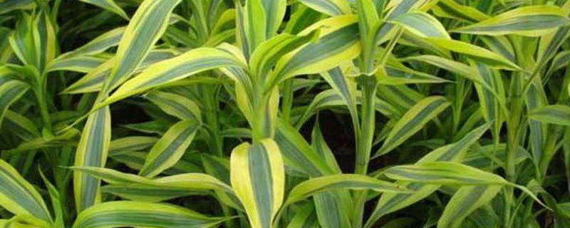富贵竹能不能种在土里