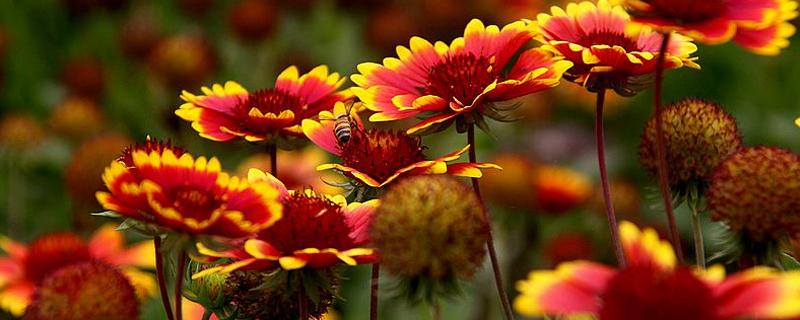 天人菊的繁殖方法有哪些