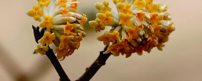 结香花什么时候开花