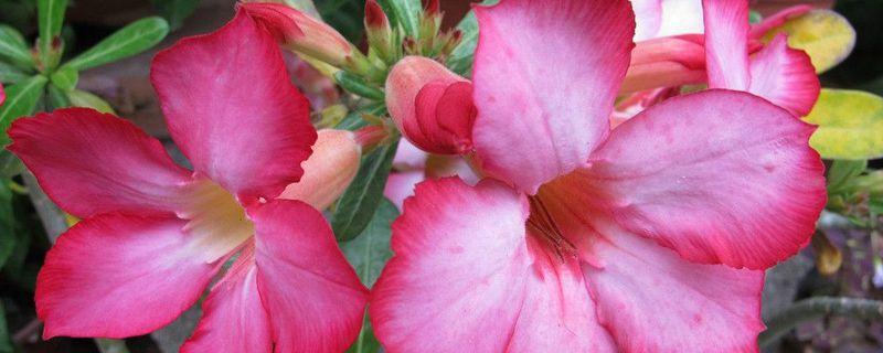 沙漠玫瑰几月份开花