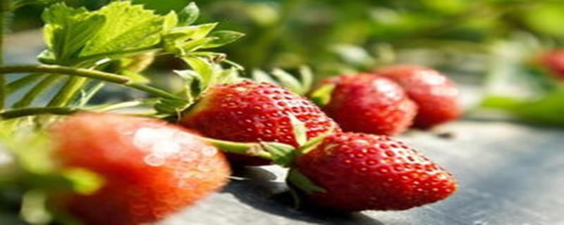 草莓几月份移栽最好