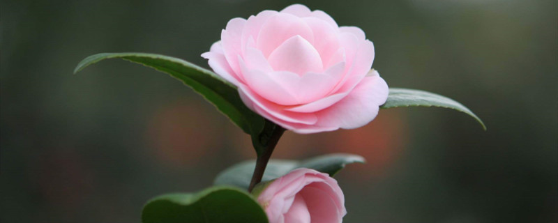 山茶花什么季节开花