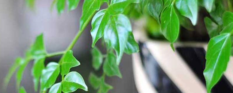 平安树叶子下垂怎么办
