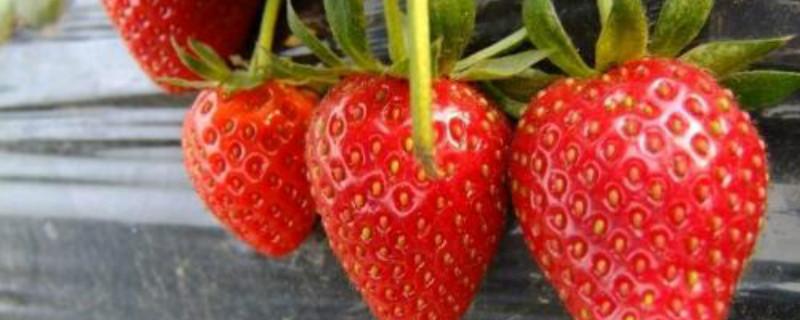 草莓几月份种