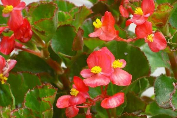 """四季海棠在家养,这样""""剪几刀"""",开花旺叶片绿,喜气洋洋!"""