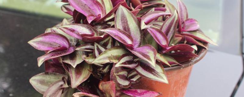 紫叶吊竹梅有毒吗,猫咪能碰吗