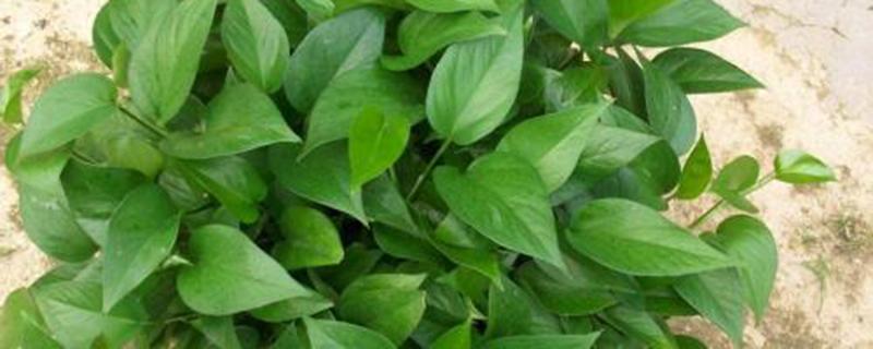 绿萝叶子卷起来怎么办