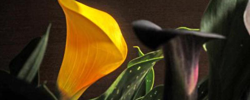彩色马蹄莲怎么养,能养几年