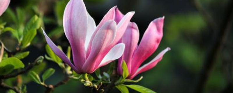 紫玉兰什么时候开花