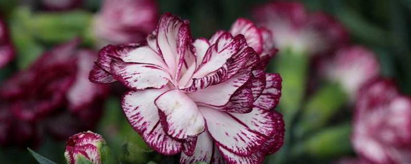 康乃馨花束怎么养