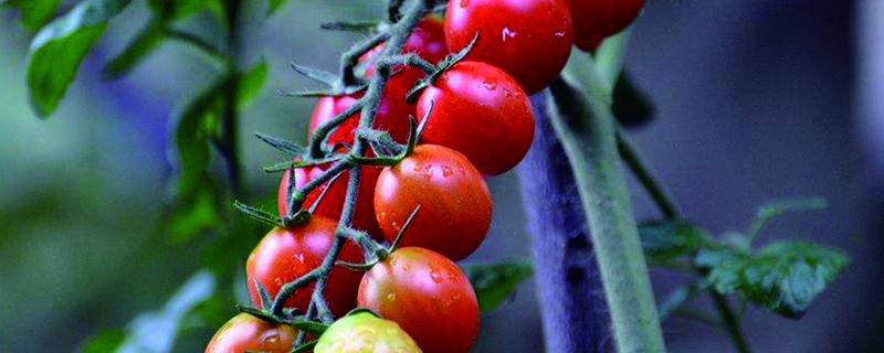 阳台圣女果的种植方法