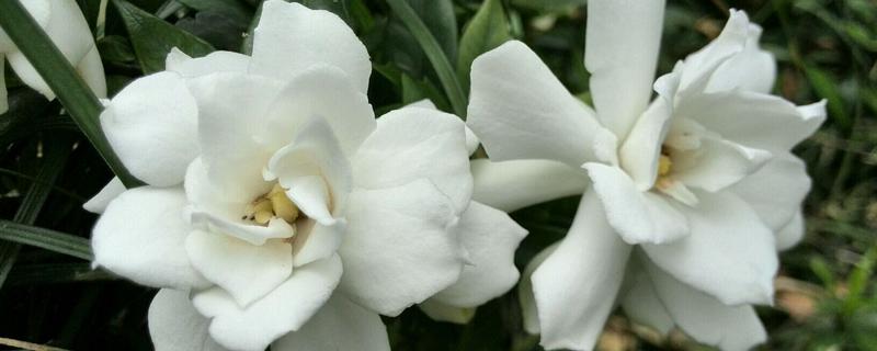 栀子花怎么繁殖