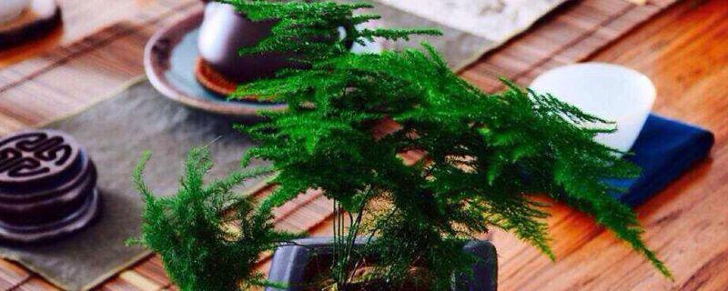 文竹用什么样的盆土养好