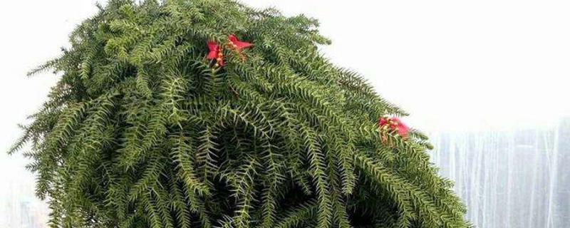 澳洲杉盆景怎么养护