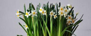 水仙花的虫害防治方法