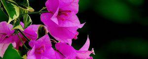 三角梅的花为什么总掉