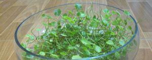 水培铜钱草叶子发黄是什么原因