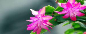 蟹脚兰为什么不开花