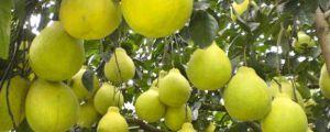 长寿沙田柚成熟时间