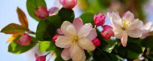 海棠花有毒吗
