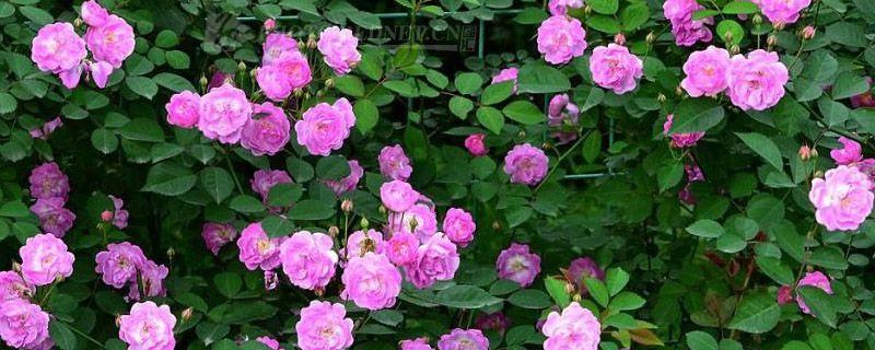 爬藤蔷薇花的养殖方法