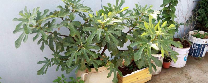 无花果盆栽的养殖方法