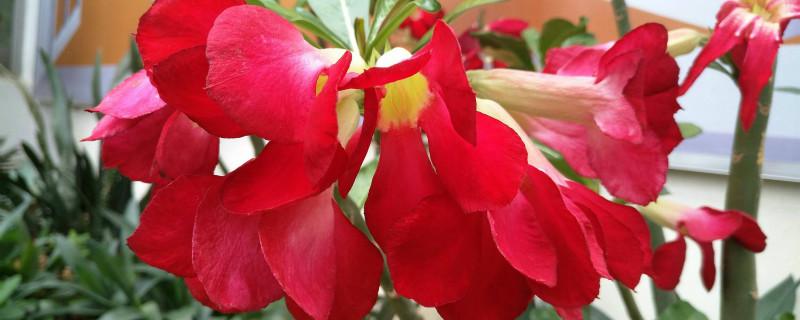 沙漠玫瑰冬季养殖方法