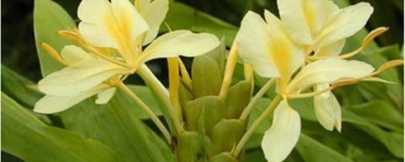 姜花的养殖方法和注意事项