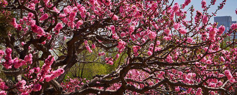 桃花春天怎么养