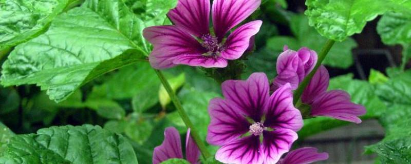 锦葵的养殖方法和注意事项