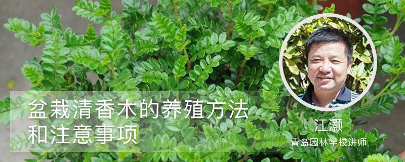 盆栽清香木的养殖方法和注意事项