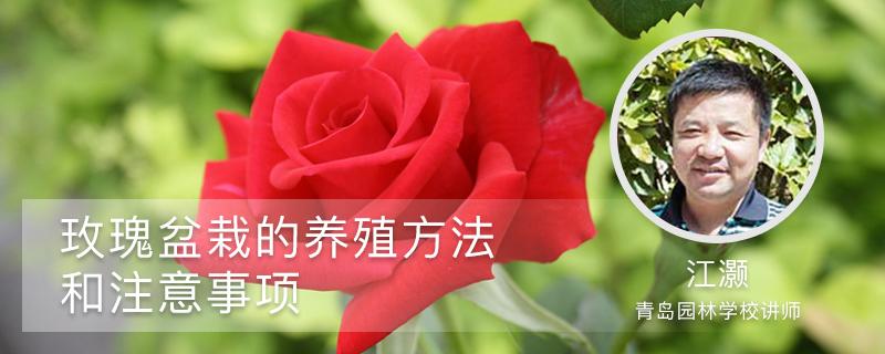 玫瑰盆栽的养殖方法和注意事项