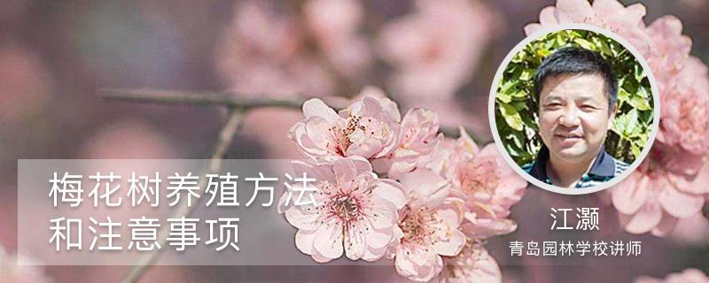 梅花树养殖方法和注意事项