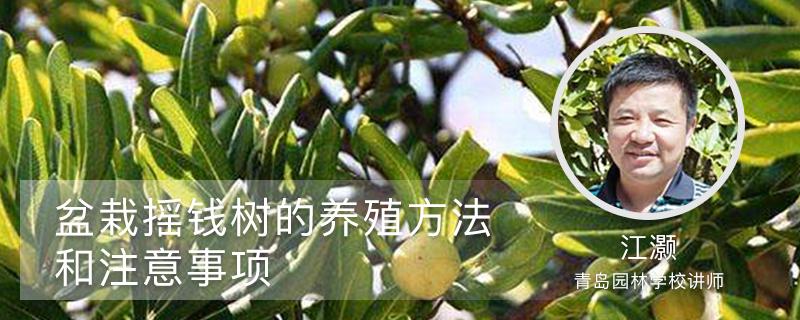 盆栽摇钱树的养殖方法和注意事项