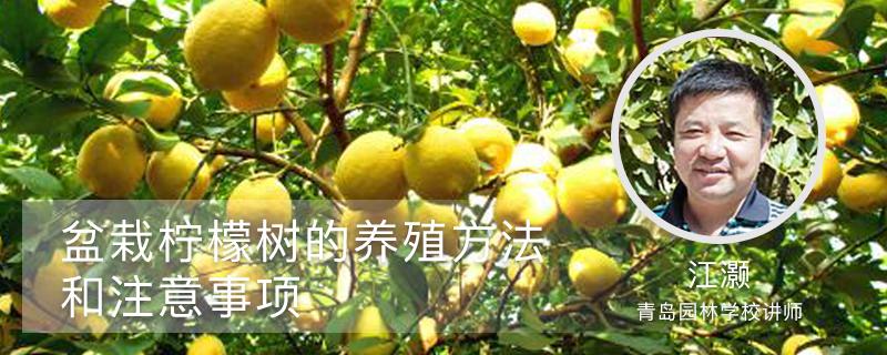 盆栽柠檬树的养殖方法和注意事项