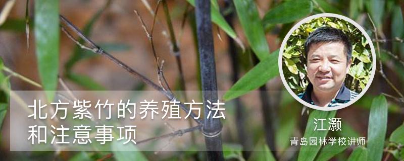 北方紫竹的养殖方法和注意事项