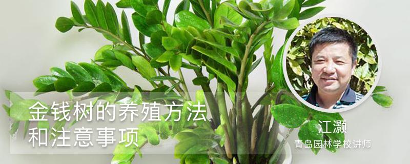 金钱树的室内养殖方法和注意事项