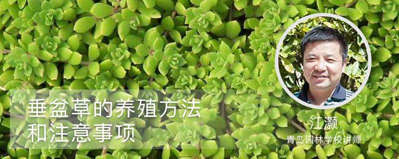 垂盆草的养殖方法和注意事项