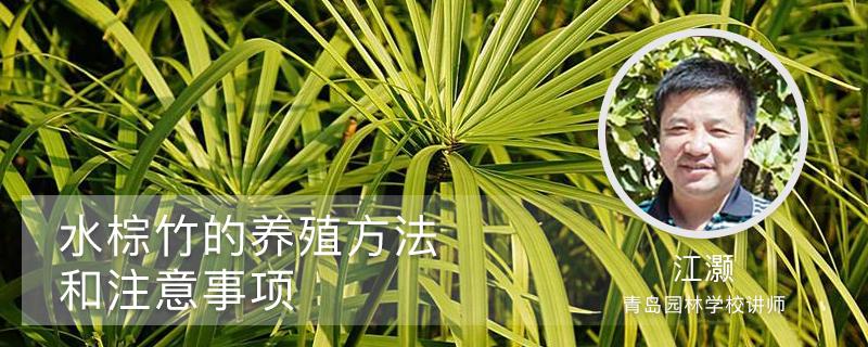 水棕竹的养殖方法和注意事项