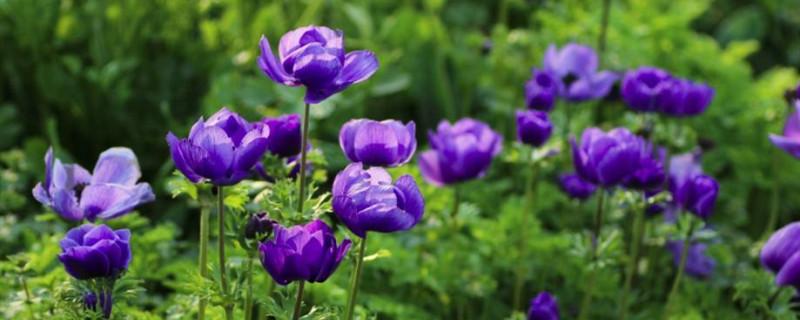 银莲花的养殖方法和注意事项