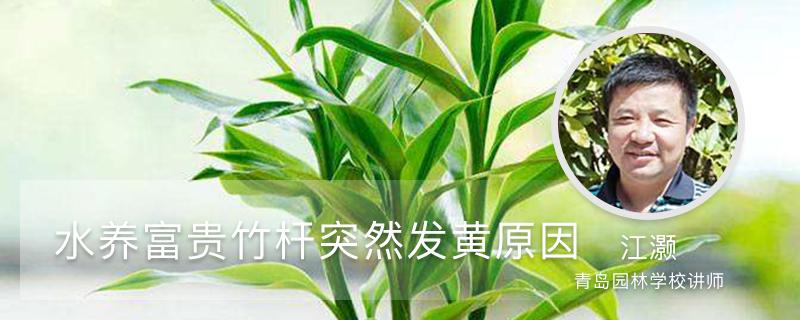 水养富贵竹杆突然发黄,不要慌,1招就变绿