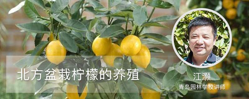 北方盆栽柠檬的养殖方法和注意事项