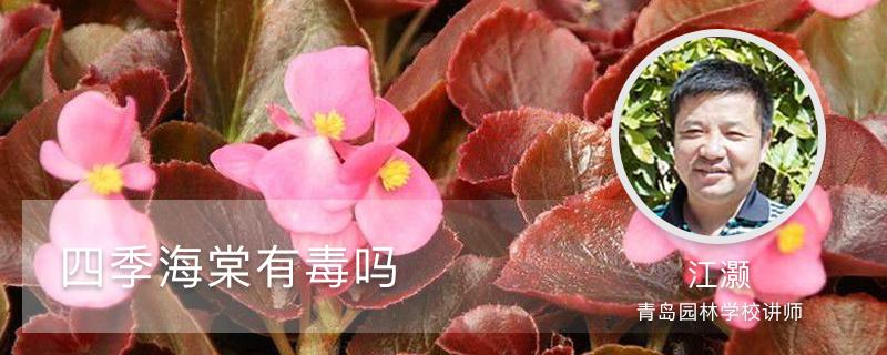 四季海棠有毒吗,怎么在家里养