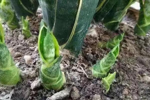 虎皮兰蟹爪兰,扒开一圈土,2天冒出38个芽!