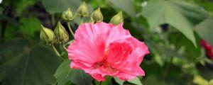 木芙蓉花的养殖方法和注意事项